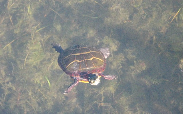 Backwater Grill - turtle